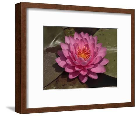 Beautiful Pink Waterlily in a Pond-George Grall-Framed Art Print