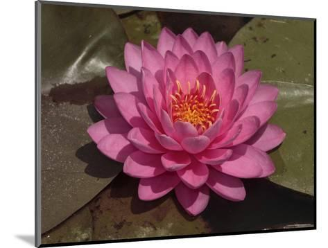 Beautiful Pink Waterlily in a Pond-George Grall-Mounted Photographic Print
