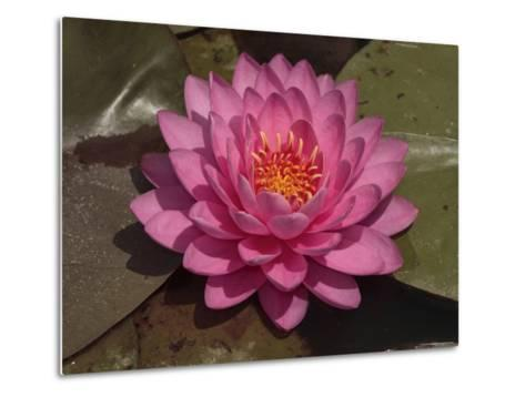 Beautiful Pink Waterlily in a Pond-George Grall-Metal Print