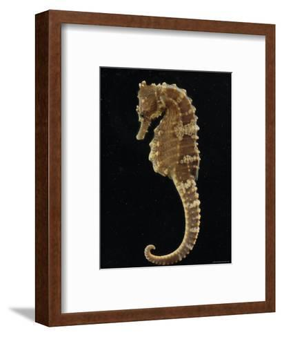 Captive Lined Seahorse, Baltimore, Maryland-George Grall-Framed Art Print