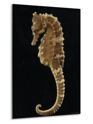 Captive Lined Seahorse, Baltimore, Maryland-George Grall-Metal Print