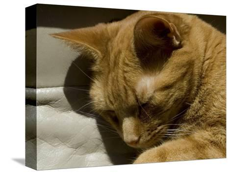 Close View of Orange Tabby Cat Sleeping, Groton, Connecticut-Todd Gipstein-Stretched Canvas Print