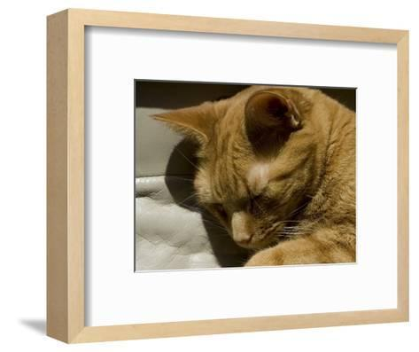 Close View of Orange Tabby Cat Sleeping, Groton, Connecticut-Todd Gipstein-Framed Art Print