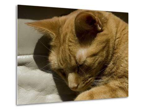 Close View of Orange Tabby Cat Sleeping, Groton, Connecticut-Todd Gipstein-Metal Print