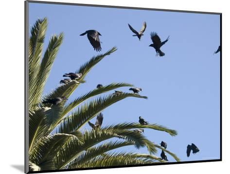 American Crows Causing a Fuss in a Palm Tree, Santa Barbara, California-Rich Reid-Mounted Photographic Print