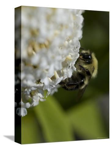 Close-Up of a Bee on a White Flower, Groton, Connecticut-Todd Gipstein-Stretched Canvas Print