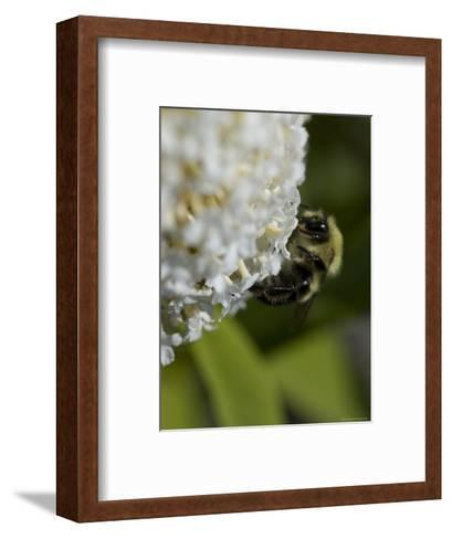 Close-Up of a Bee on a White Flower, Groton, Connecticut-Todd Gipstein-Framed Art Print