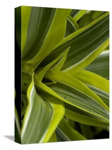 Close-Up of a Green Veriagated Plant, Groton, Connecticut-Todd Gipstein-Stretched Canvas Print