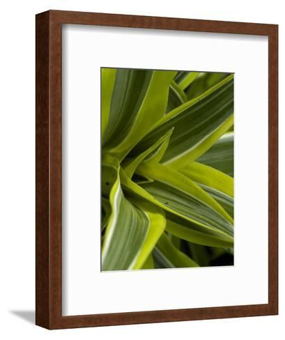 Close-Up of a Green Veriagated Plant, Groton, Connecticut-Todd Gipstein-Framed Art Print