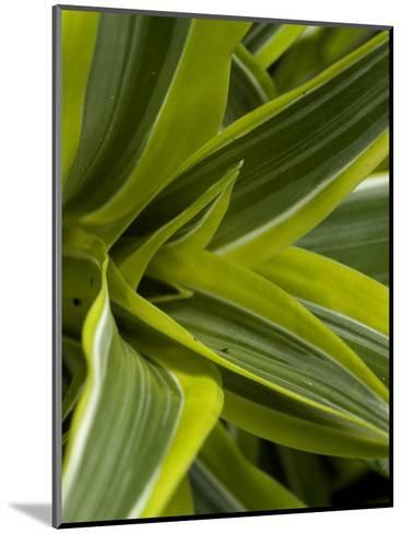 Close-Up of a Green Veriagated Plant, Groton, Connecticut-Todd Gipstein-Mounted Photographic Print