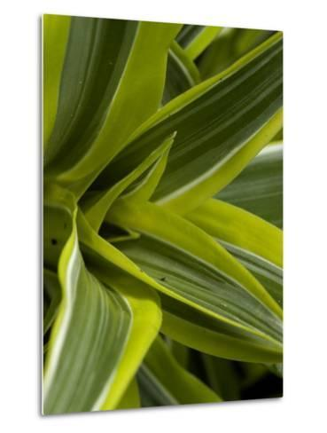 Close-Up of a Green Veriagated Plant, Groton, Connecticut-Todd Gipstein-Metal Print