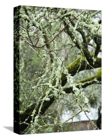 Close-Up of Moss Covered Wet Tree Branch, California-James Forte-Stretched Canvas Print
