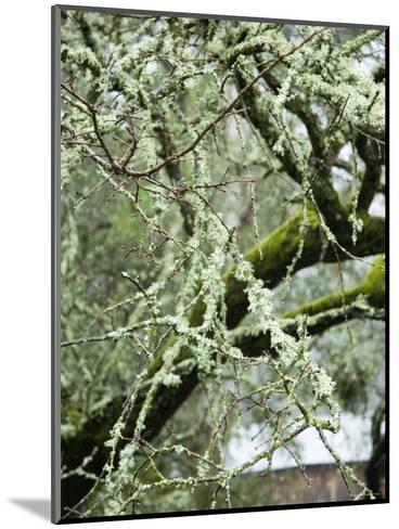 Close-Up of Moss Covered Wet Tree Branch, California-James Forte-Mounted Photographic Print