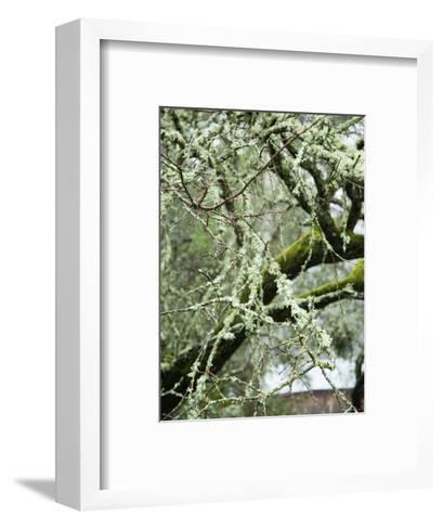 Close-Up of Moss Covered Wet Tree Branch, California-James Forte-Framed Art Print