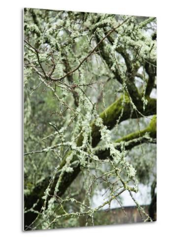 Close-Up of Moss Covered Wet Tree Branch, California-James Forte-Metal Print