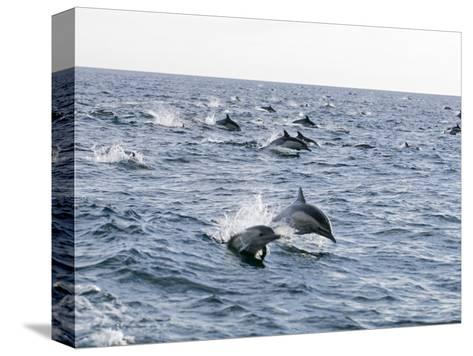Common Dolphin Pod Swimming, California-Rich Reid-Stretched Canvas Print