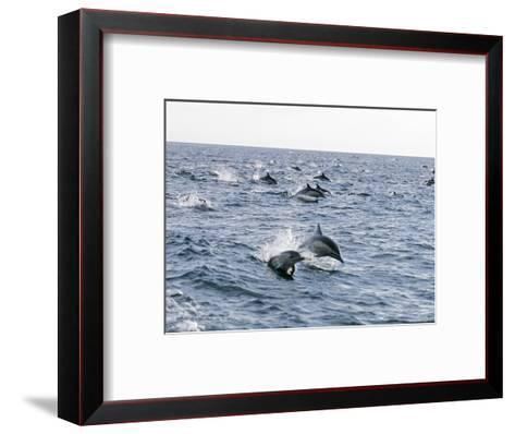 Common Dolphin Pod Swimming, California-Rich Reid-Framed Art Print