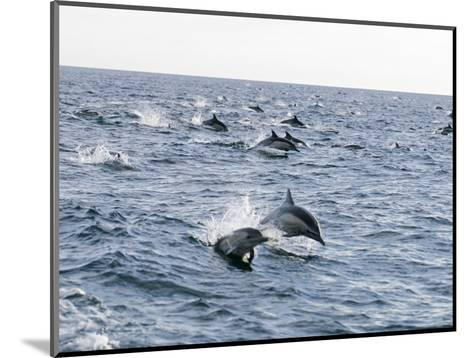Common Dolphin Pod Swimming, California-Rich Reid-Mounted Photographic Print