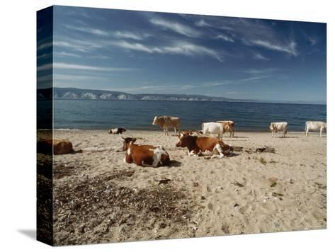 Cattle Rest on a Beach-Bill Curtsinger-Stretched Canvas Print