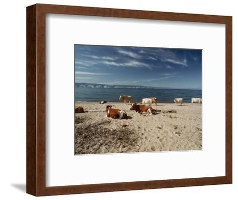 Cattle Rest on a Beach-Bill Curtsinger-Framed Art Print