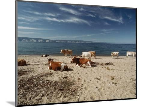 Cattle Rest on a Beach-Bill Curtsinger-Mounted Photographic Print
