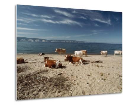 Cattle Rest on a Beach-Bill Curtsinger-Metal Print