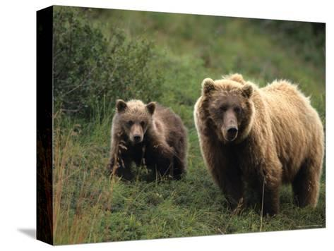 Grizzly Sow and Cub, Alaska-Michael S^ Quinton-Stretched Canvas Print