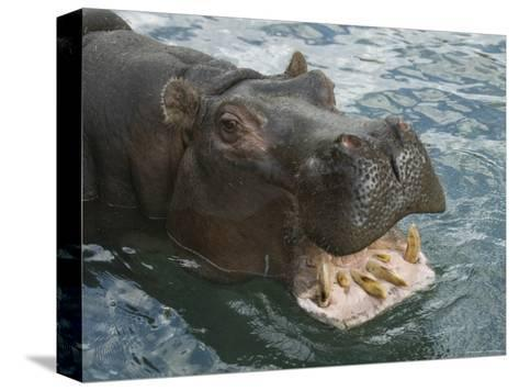 Hippopotamus Bares its Teeth at the Sedgwick County Zoo, Kansas-Joel Sartore-Stretched Canvas Print