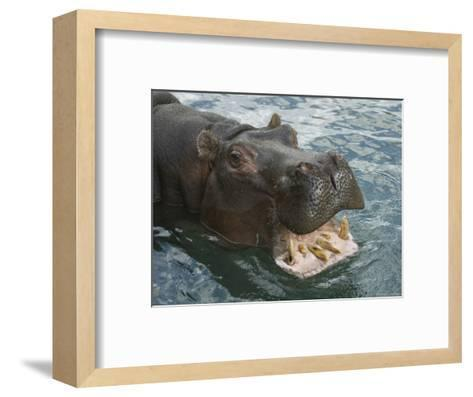 Hippopotamus Bares its Teeth at the Sedgwick County Zoo, Kansas-Joel Sartore-Framed Art Print