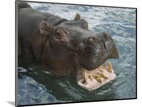 Hippopotamus Bares its Teeth at the Sedgwick County Zoo, Kansas-Joel Sartore-Mounted Photographic Print