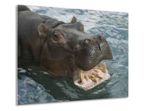 Hippopotamus Bares its Teeth at the Sedgwick County Zoo, Kansas-Joel Sartore-Metal Print
