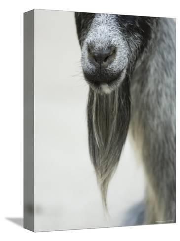 Domestic Goats from the Omaha Zoo, Nebraska-Joel Sartore-Stretched Canvas Print