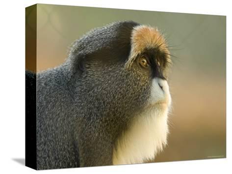 Debrazza's Monkey at the Sedgwick County Zoo, Kansas-Joel Sartore-Stretched Canvas Print