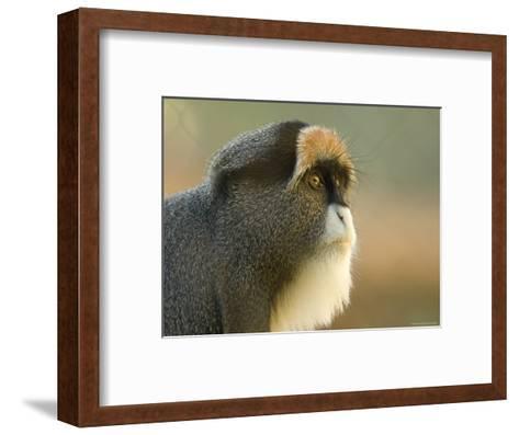 Debrazza's Monkey at the Sedgwick County Zoo, Kansas-Joel Sartore-Framed Art Print