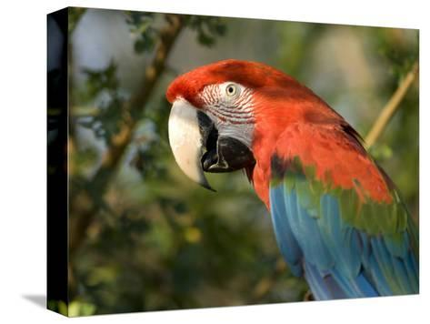 Green-Winged Macaw from the Sedgwick County Zoo, Kansas-Joel Sartore-Stretched Canvas Print