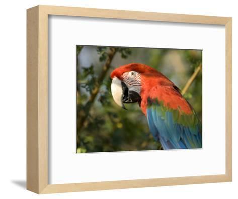 Green-Winged Macaw from the Sedgwick County Zoo, Kansas-Joel Sartore-Framed Art Print