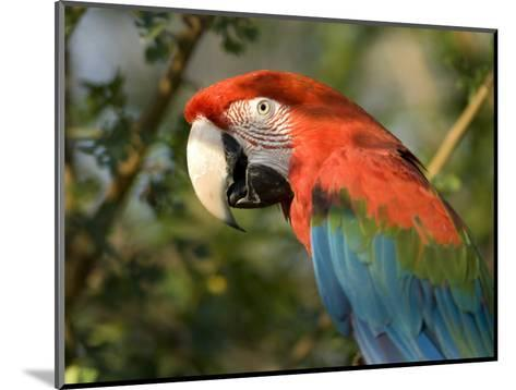 Green-Winged Macaw from the Sedgwick County Zoo, Kansas-Joel Sartore-Mounted Photographic Print