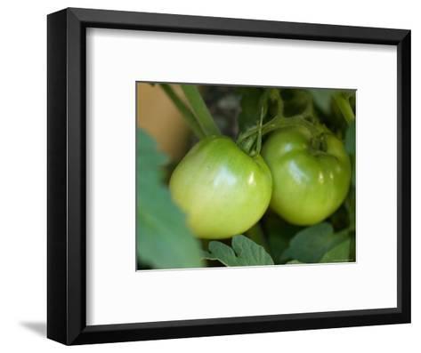 Green Tomato Isn't Ripe Enough to Be Picked from This Garden, Elkhorn, Nebraska-Joel Sartore-Framed Art Print