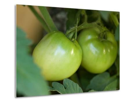 Green Tomato Isn't Ripe Enough to Be Picked from This Garden, Elkhorn, Nebraska-Joel Sartore-Metal Print