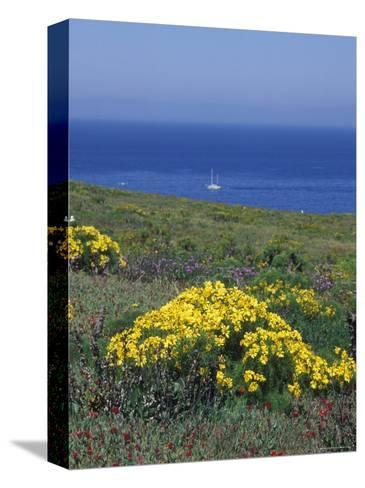 Giant Coeropsis, Blue Dicks and Ice Plant on Anacapa Island, California-Rich Reid-Stretched Canvas Print