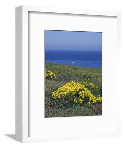 Giant Coeropsis, Blue Dicks and Ice Plant on Anacapa Island, California-Rich Reid-Framed Art Print