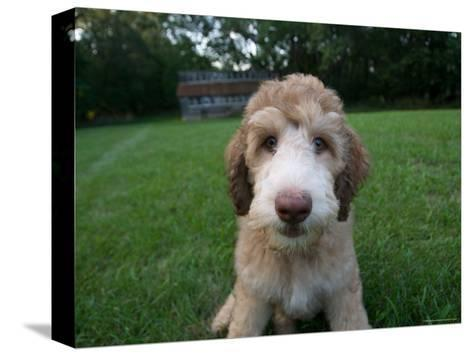 Goldendoodle Puppy Sits in Freshly Mowed Grass-Joel Sartore-Stretched Canvas Print