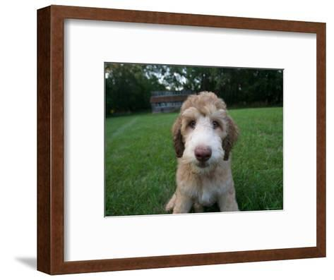 Goldendoodle Puppy Sits in Freshly Mowed Grass-Joel Sartore-Framed Art Print