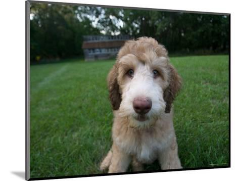 Goldendoodle Puppy Sits in Freshly Mowed Grass-Joel Sartore-Mounted Photographic Print