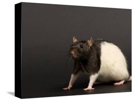 Domestic Rat at the Sunset Zoo, Kansas-Joel Sartore-Stretched Canvas Print