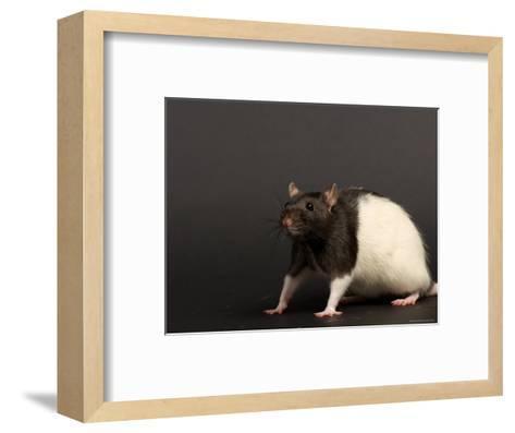 Domestic Rat at the Sunset Zoo, Kansas-Joel Sartore-Framed Art Print