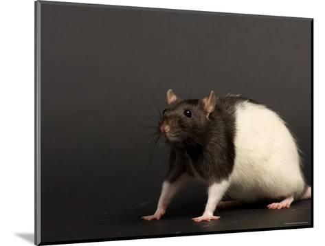 Domestic Rat at the Sunset Zoo, Kansas-Joel Sartore-Mounted Photographic Print