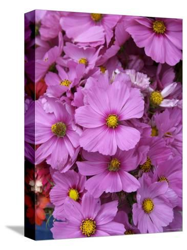Cosmos Plant in Bloom at Market, Marin, California--Stretched Canvas Print