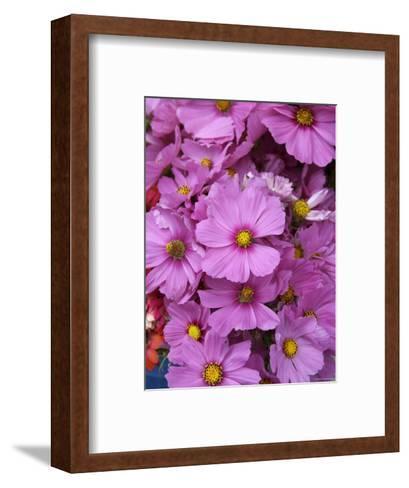Cosmos Plant in Bloom at Market, Marin, California--Framed Art Print