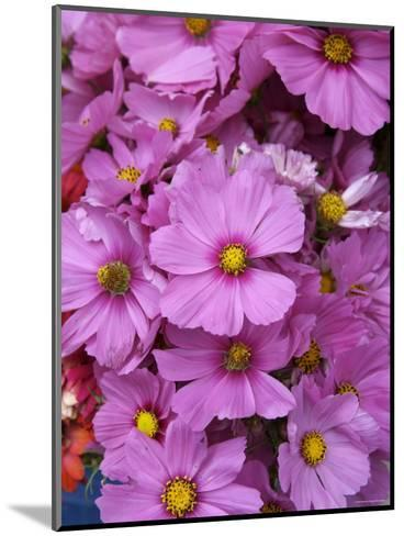 Cosmos Plant in Bloom at Market, Marin, California--Mounted Photographic Print